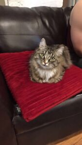 2 yr old Male Tabby Cat for rehoming