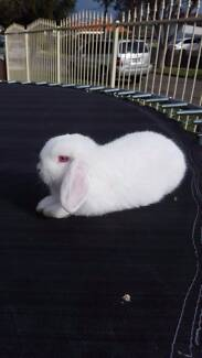 Baby albino mini lop rabbit Guildford Parramatta Area Preview