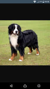 Wanted BERNESE MOUNTAIN puppies Yanchep Wanneroo Area Preview