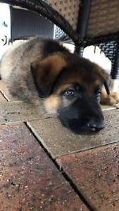 Working German Shepherd pup for sale - high drive working dog Sydney City Inner Sydney Preview