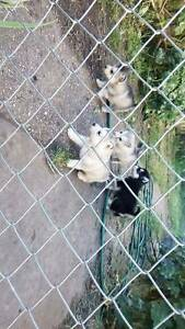 Alaskan malamutes Wynyard Waratah Area Preview