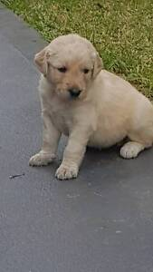 Gorgeous Groodle puppies Concord West Canada Bay Area Preview