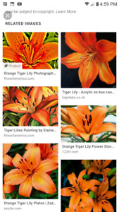 Tiger Lily plant small or med clump