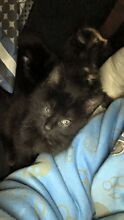 Three kittens Leichhardt Ipswich City Preview