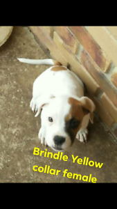 $300 if gone by Wednesday!!!  American bulldog pups