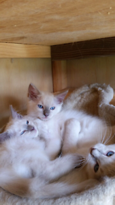 Gorgeous lilac Ragdoll kittens Liverpool Liverpool Area Preview