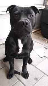 Purebreed english staffy desex male for rehoming Adelaide CBD Adelaide City Preview
