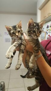 15week old kittens (Neglect No More Animal Rescue) St Lucia Brisbane South West Preview