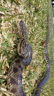 SNAKE FOR SALE! - Spotted Python