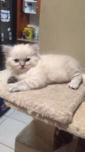 Rag doll cats and kitten Miller Liverpool Area Preview