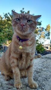 LOST: Ginger short hair male cat, much loved (Helena Valley) Helena Valley Mundaring Area Preview