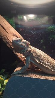 Bearded Dragons For Sale Reptiles Amp Amphibians Gumtree