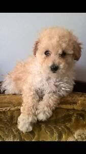 Tiny Teacup Poodle Puppy in Apricot Melbourne CBD Melbourne City Preview