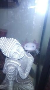 Axolotl and tank for sale