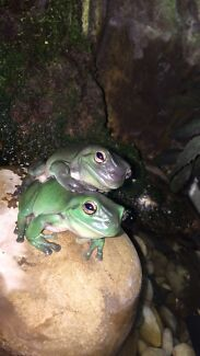 2 green tree frogs