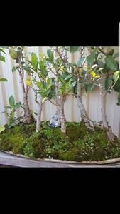 All Plants and bonsai for sale Regents Park Auburn Area Preview
