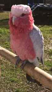 galah bird Liverpool Liverpool Area Preview