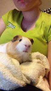 3 Male Guinea Pigs Manly West Brisbane South East Preview