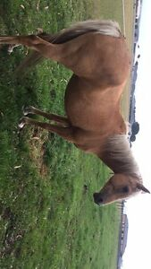 Palomino mare Colac Colac-Otway Area Preview