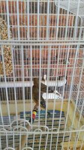 couple of canaries and there cage  for sale Liverpool Liverpool Area Preview