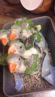 Hand raised Birds for sale