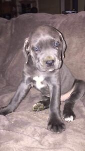 Cane Corso (Italian Mastiff) Puppies For Sale