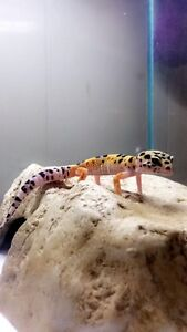 Leopard gecko comes with tank & accessories