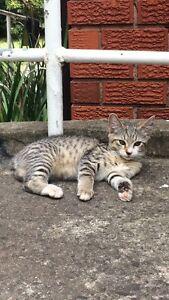 1 cute Tabby spotty female kitten, $100 Hurstville Hurstville Area Preview