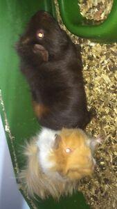 Super sweet Guinea pigs ( :