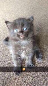 Turkish Angora X kittens Randwick Eastern Suburbs Preview