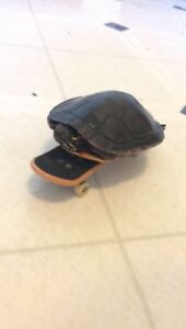 Painted turtle+tank & betta fish+tanks for sale
