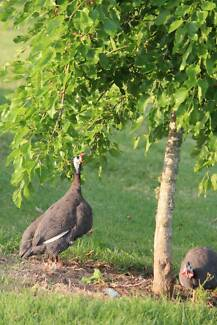 Guinea Fowl Wingham Greater Taree Area Preview