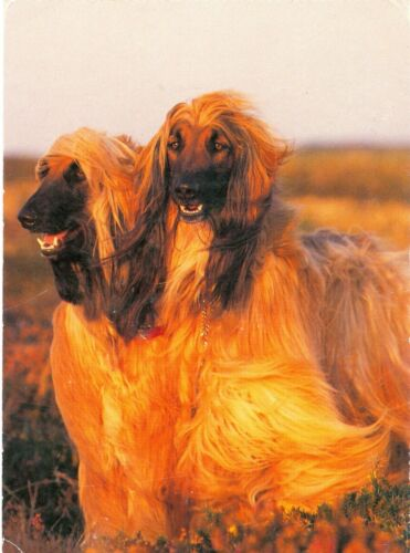 Afghan Hound Dogs Oversize Postcard Germany Krämer c1980s or Early 1990s