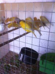 Canary Birds Assorted Colours for Sale Lalor Whittlesea Area Preview