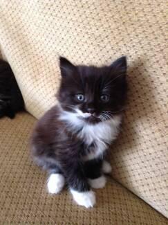 WANTED: FLUFFY kitten