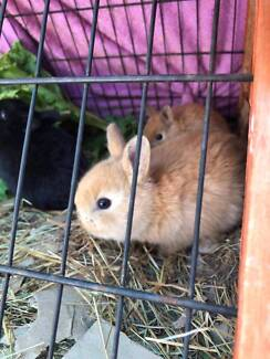 3 WEEK OLD GORGEOUS BABY NETHERLAND DWARF RABBITS! CUTE COLOURS!