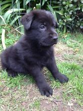 German Shepherd Puppies Working Line Pure Bred Hallam Casey Area Preview