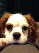 PET SITTER FOR HOLIDAY SEASON (~DEC-FEB) KING CHARLES PUPPY Melbourne CBD Melbourne City Preview