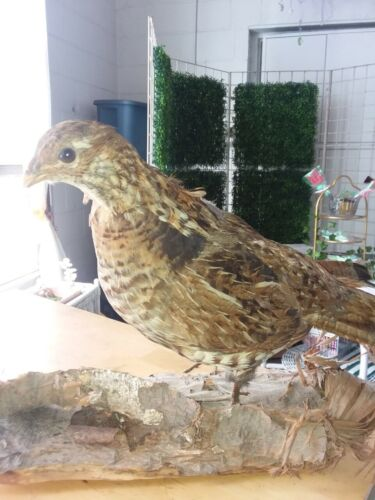 Rare Vintage Standing Ruffed Grouse Taxidermy Mount
