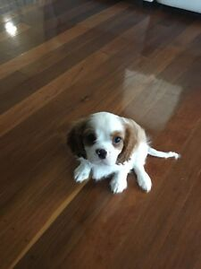 Cavalier Male Puppy Chapel Hill Brisbane North West Preview