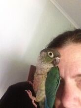 Tame blue yellowsided green cheek conure Varsity Lakes Gold Coast South Preview