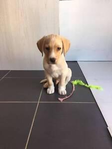 Pure Labrador puppy (male) looking for home Preston Darebin Area Preview