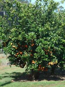 Citrus trees, Cumquats, Grapefruits, Lemons, Limes, Mandarins, Or West Ballina Ballina Area Preview