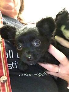 Chihuahua pups again this spring! Peterborough Peterborough Area image 2