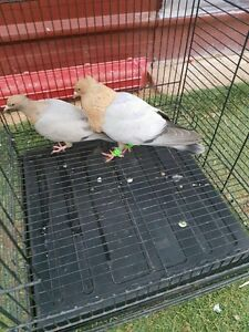 Pigeon for sale Noble Park Greater Dandenong Preview