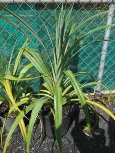 Pandanus from $8 West Ballina Ballina Area Preview