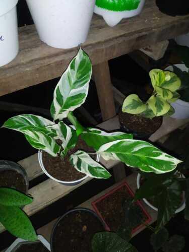 calathea banana variegated Phytosanitary