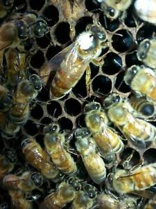 HONEY BEE HIVE FOR SALE! Hinchinbrook Liverpool Area Preview