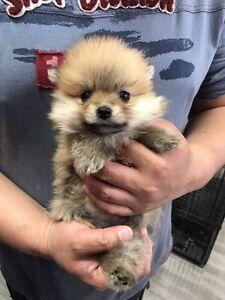 Purebred Teacup Pomeranian puppies