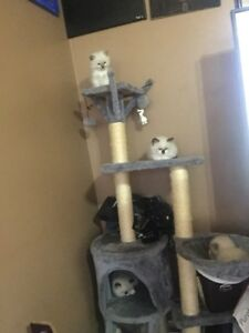 Ragdoll Kittens - 2 males available